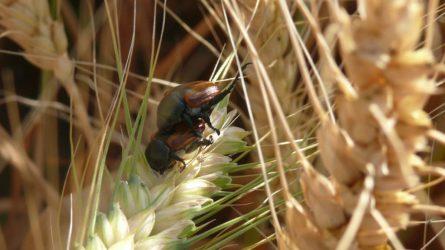 Növényvédelmi előrejelzés: Az aszály a legfőbb kárósító