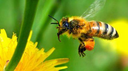 Új rendeletek megalkotását várják az uniótól a méhészek