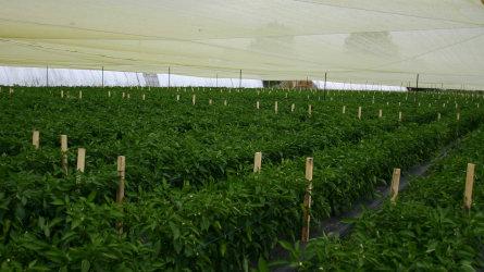 Árnyékoló hálóval a zöldségnövények napégése ellen