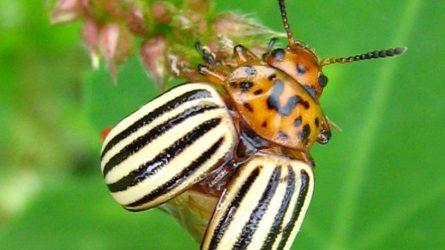 NÉBIH: A burgonyabogár elleni rovarölő szerek hatékonyságáról