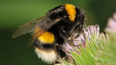 A melegházi termelésben nagy segítséget jelent a poszméh