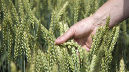 SAATEN-UNION őszi kalászosok – több termés, nagyobb termésbiztonság
