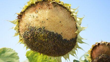 Növényvédelmi előrejelzés: Csendesedik a növényvédelmi helyzet, de nincs teljes nyugalom