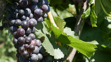 Bemutatták a mogyoródi szőlőtechnológiai kísérlet eredményeit
