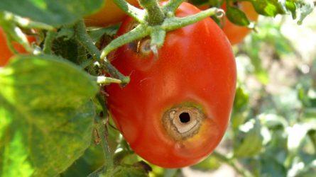 Növényvédelmi előrejelzés: Terjed a vándorpoloska, küszöbön a kukorica betakarítása