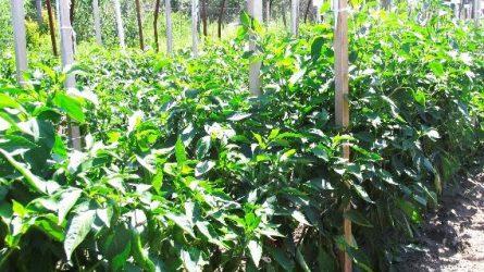 A fűszerpaprika-termesztés technológiai kérdései