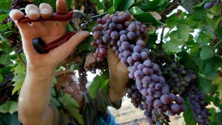 Jó minőségű, de a tavalyinál kevesebb lesz a szőlőtermés Szekszárdon