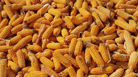 Kemény verseny várható a kukoricapiacon