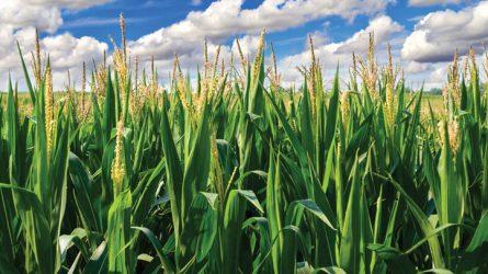 Tornacipő kukoricából? Üléspárna szójából? - Mezőgazdasági termények alternatív felhasználása