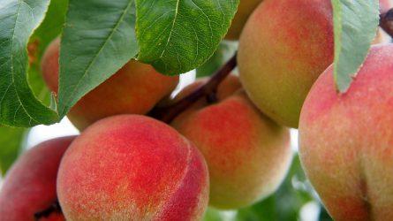 8,5 tonna az őszibarack termésátlaga