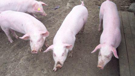 Ingyenes fertőtlenítőszert kaphatnak a sertéstartók az afrikai sertéspestis miatt