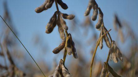 Erősödő kutatói együttműködés a GMO-mentes szójatermelés érdekében