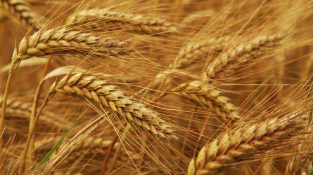 Ukrajnában 60 millió tonna fölötti gabonatermést várnak