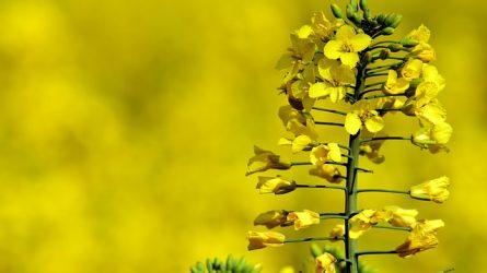 RUNWAY - 40.000 Ft/hektár kárt okozhatnak a melegigényes gyomok ősszel a repcében