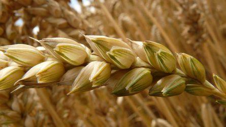 Tovább növekedett a búza termésátlaga