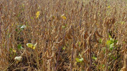 A szója a zöldítésen kívül is csábító a gazdáknak