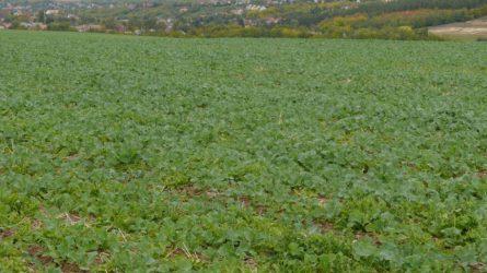 Növényvédelmi előrejelzés: Sok támadás éri a repcét, növekszik a rágcsálók állománya