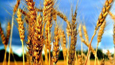 Rekord mennyiségű gabonatermés várható Oroszországban