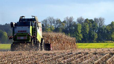 Kukorica: a mennyiség messze elmarad a tavalyitól