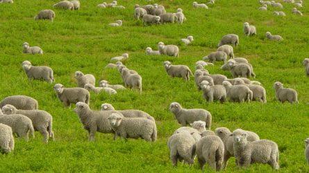 Növekedett a juh- és kecskeágazat