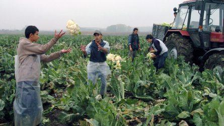 Csökken a karfiol és brokkoli termőterülete