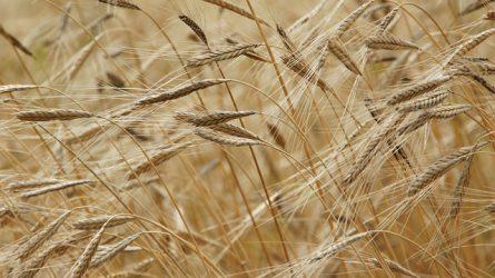 Új gabonatermelési rekord várható jövőre