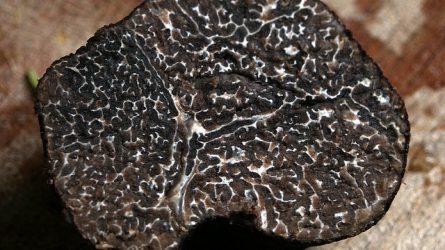 Eltűnik a vadon növő szarvasgomba? Pályázattal termeszthető!