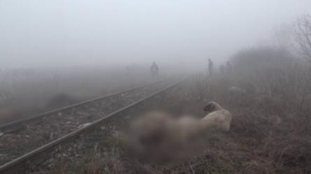 Száz juhot és két szamarat gázolt el a vonat