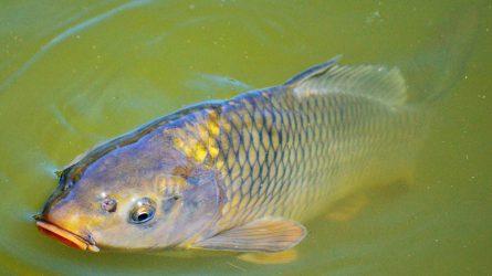 Védjegy garantálja a magyar hal minőségét