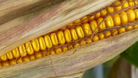 Érdekli az idei kukoricakísérlet eredménye?