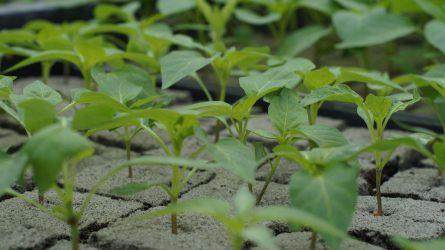 Zöldségpalánták oltása