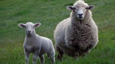 Elfogadta az Európai Parlament a juh és kecske ágazatról szóló jelentést