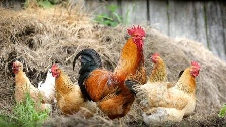 A Copa-Cogeca kiáll az európai ketreces állattartás mellett