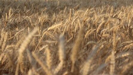 Kevesebb kalászos gabona termett az idén