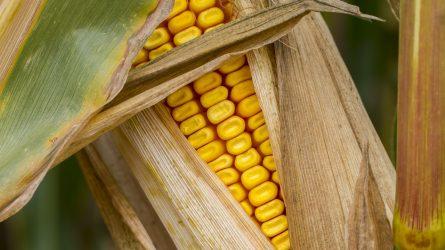 Beérett, lábon álló kukoricák kártevői