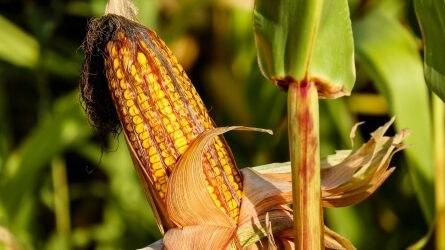 Kukoricatermesztés – várható veszélyek és potenciális lehetőségek a klímaváltozás kapcsán