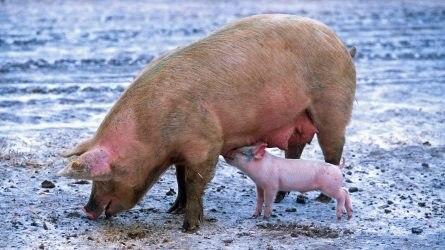 A Tiszaföldváron elhullott sertések nem voltak afrikai sertéspestissel fertőzöttek