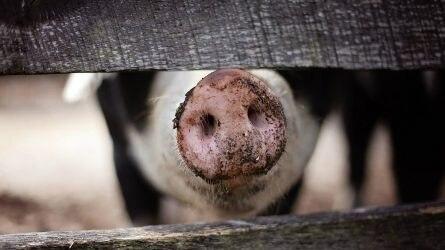 Nőtt a sertés-, csökkent a baromfi vágások száma