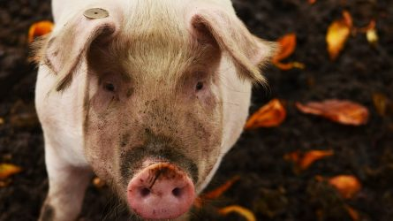 Idén még biztosan lesz sertés állatjóléti támogatás