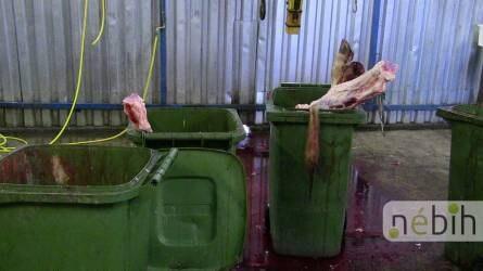 Engedély nélküli szarvasmarhavágást lepleztek le a Nébih ellenőrei