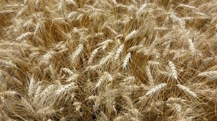 Csehországban a tavalyinál kevesebb gabonát tárolhatnak be az idén