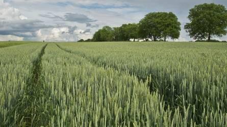 Emelkedett a kukorica és a búza ára