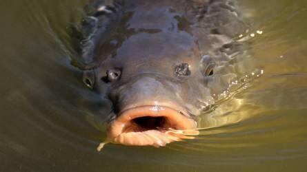 Drágább lesz a hal az áfacsökkentés után?