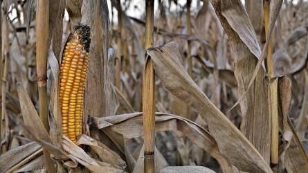 A termelői pozíciók erősödése várható a hazai kukoricapiacon