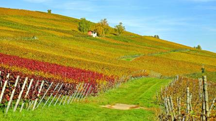 Újra igényelhető a szőlő szerkezetátalakítási támogatás a hónap közepétől