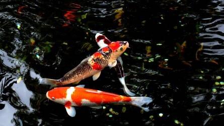 Veszélyt jelenthetnek a magyar halgazdálkodásra a betelepített díszhalak