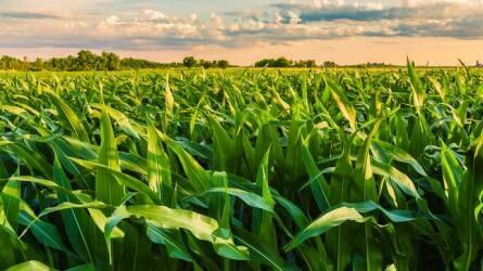 Bevált megoldások a kukorica gyomirtására