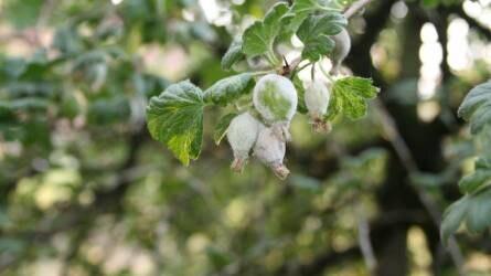 Már számítani lehet a kártevők, kórokozók megjelenésére a bogyós gyümölcsű növényeken