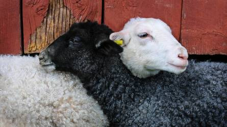A korai húsvét tesz be idén a bárányexportnak