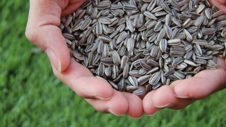 Emelkedett a búza fronthavi jegyzése - Olajnövény- és gabonapiaci jelentés